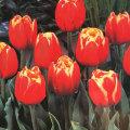 八重咲きチューリップ・ダブルフォーカスの球根を販売【花育通販】