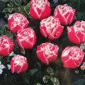 八重咲きチューリップ・ケープランドギフトの球根を販売【花育通販】
