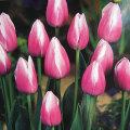 2色咲きチューリップ・ドリーミングメイドの球根を販売【花育通販】