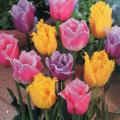 フリンジト咲きチューリップ・混合の球根を販売【花育通販】