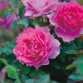 薔薇(バラ)苗木の販売店【花育通販】シェエラザード