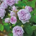 薔薇(バラ)苗木の販売店【花育通販】ル・シエル・ブルー