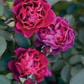 薔薇(バラ)苗木の販売店【花育通販】オデュッセイア
