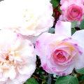 薔薇(バラ)苗木の販売店【花育通販】ニンファ