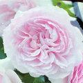 薔薇(バラ)苗木の販売店【花育通販】エウリディーチェ