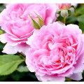 薔薇(バラ)苗木の販売店【花育通販】ヘレン