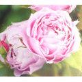 薔薇(バラ)苗木の販売店【花育通販】エンデュミオン