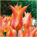 チューリップ球根(2色咲き・八重咲き・百合咲き等)の販売店