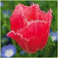 チューリップ球根(原種・2色咲き・八重咲き・百合咲き等)の販売店