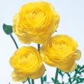 ラナンキュラスの球根を販売【花育通販】