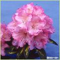 石楠花(シャクナゲ)苗木を販売