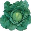 野菜種(タネ)の販売店「花育通販」きゃべつ(キャベツ)四季穫の種を販売