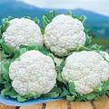 健康野菜苗・種の販売店「花育通販」カリフラワー「スノークラウンの種」を販売