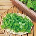 野菜種の販売店【花育通販】三つ葉(ミツバ)の種