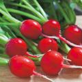 野菜種の販売店【花育通販】二十日大根(ラディッシュ)