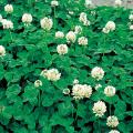 種(タネ)の販売店【花育通販】景観用植物「白(ホワイト)クローバー」の種(タネ)