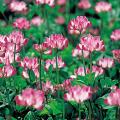種(タネ)の販売店【花育通販】景観用植物「れんげ」の種(タネ)