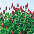 種(タネ)の販売店【花育通販】景観用植物「クリムソンクローバー」の種(タネ)