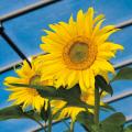 種(タネ)の販売店【花育通販】景観用植物「緑肥用ひまわり」の種(タネ)