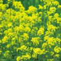 種(タネ)の販売店【花育通販】景観用植物「緑肥用しろからしな・黄花のちから」の種(タネ)