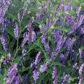 種(タネ)の販売店【花育通販】景観用植物「ウィンターベッチ」の種(タネ)
