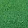 種(タネ)の販売店【花育通販】寒冷地型芝生「ケンタッキーブルーグラス・ムーンライトSLT」の種