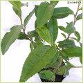 ヤブキタ茶(緑茶)の苗木を販売