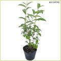 オクミドリ茶(緑茶・お茶の木)の苗木を販売