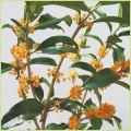 金木犀(キンモクセイ)の苗木を販売