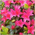 ツツジ・皐月(サツキ)等、家庭園芸用の花木・庭木の販売店
