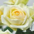 薔薇(バラ)苗木の販売店【花育通販】イングリッシュ・アイズ
