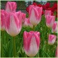 富山チューリップ球根(原種・2色咲き・八重咲き・ユリ咲き等)の販売店