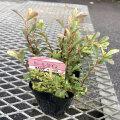 斑入りピラカンサ(ピラカンサス) ハーレクインの苗