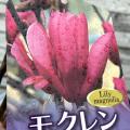 ガールマグノリア(モクレン/木蓮) スーザンの苗木
