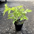サンブカス(西洋ニワトコ/エルダーフラワー)・オーレア(黄金葉)の苗木