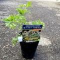 サンブカス(西洋ニワトコ/エルダーフラワー)・細葉(もみじ葉/緑葉)の苗木