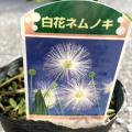 カリアンドラ・ポルトリケンシス(白花ネムノキ)の苗木