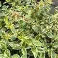 アベリア グランディフローラ ラディアンスの苗木