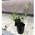 オリーブの苗木「ひなかぜ」