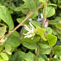 常磐万作(トキワマンサク)緑葉白花の苗木