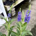 ベロニカ・ハミングバード ブルーの苗