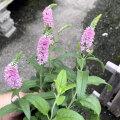 ベロニカ・ハミングバード ピンクの苗