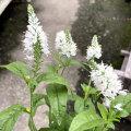 ベロニカ・ハミングバード ホワイトの苗