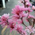 花桃「舞飛天」の苗木を販売【花育通販】