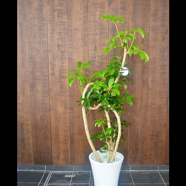 【配達無料】観葉植物 ツピタンサス