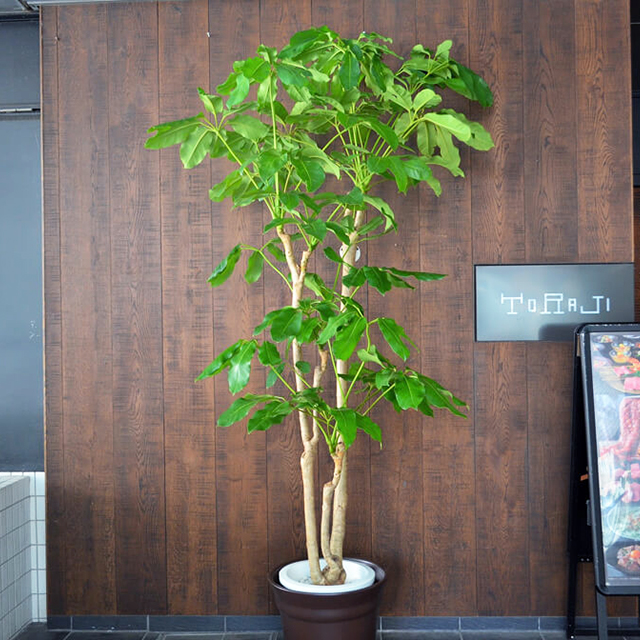 【配達無料】観葉植物 ブラッサイア