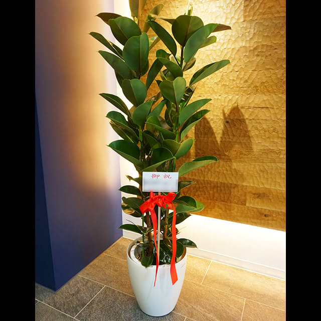 【配達無料】観葉植物 ゴムの木 フィカス・ロブスター