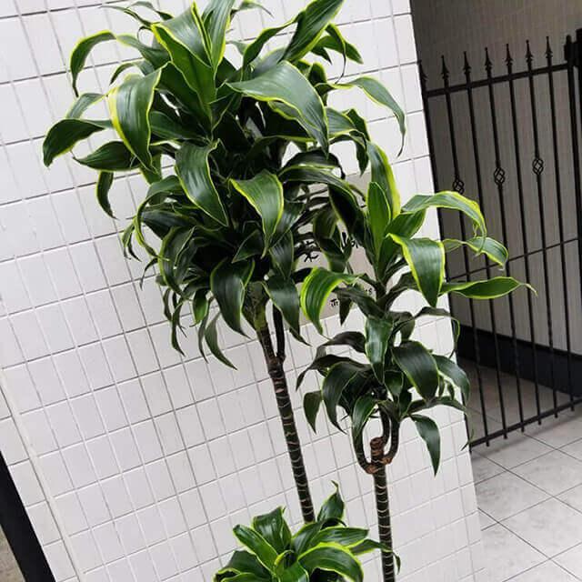【配達無料】観葉植物 ドラセナ・ドラド