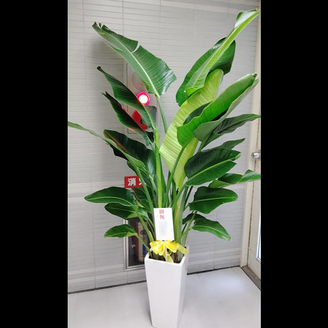 【配達無料】観葉植物 オーガスタ