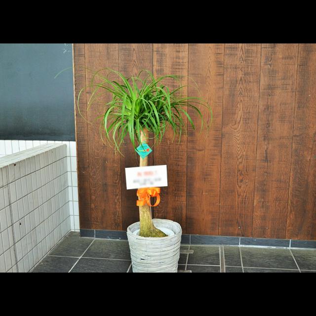 【配達無料】観葉植物 ポニーテール
